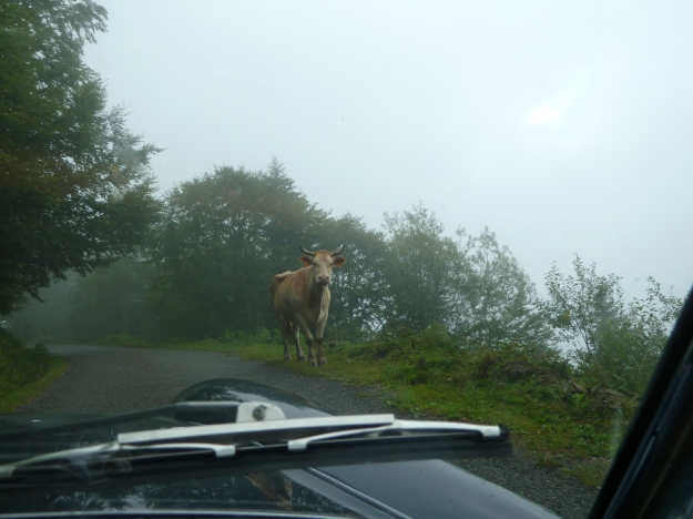 "Just thought of an original title for a wildlife  film, ""Cows in the Mist!""  Sounds vaguely familiar though.  :-)"